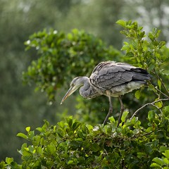 Jeune héron cendré en mue (ardea cinerea) (pierre.pruvot2) Tags: oiseau bird heron arbre leica panasonic lumixg9 france pasdecalais maraisdeguînes chemindestêtards