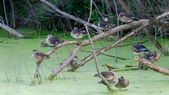 IMG_2306 (brian.a.stamper) Tags: aixsponsa animal bird woodduck stlouis missouri unitedstatesofamerica