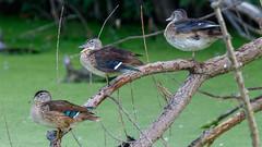 IMG_2298 (brian.a.stamper) Tags: aixsponsa animal bird woodduck stlouis missouri unitedstatesofamerica