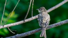 IMG_2263 (brian.a.stamper) Tags: animal bird easternphoebe sayornisphoebe stlouis missouri unitedstatesofamerica
