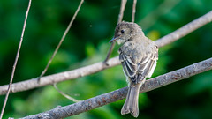 IMG_2237 (brian.a.stamper) Tags: animal bird easternphoebe sayornisphoebe stlouis missouri unitedstatesofamerica