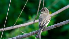 IMG_2223 (brian.a.stamper) Tags: animal bird easternphoebe sayornisphoebe stlouis missouri unitedstatesofamerica