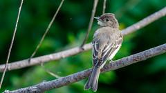 IMG_2218 (brian.a.stamper) Tags: animal bird easternphoebe sayornisphoebe stlouis missouri unitedstatesofamerica