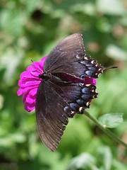 Swallowtail (bamboosage) Tags: mamiyasekor 17 ƒ58mm m42 coth5