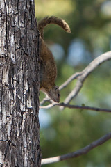 Linyanti - Tree squirrel (llmetalworks) Tags: linyanti day12 treesquirrel