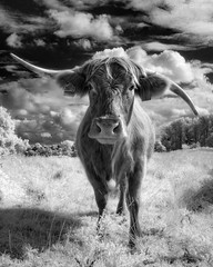 Infrared Cow Mono (GeorgeKBarker) Tags: cow infrared 720 720nm black white monochrome mono beast horns contrast cattle agriculture cows animal nature ruminant farm land grass graze curious norfolk norwich