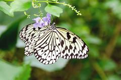 Paper Kite Tropical Butterfly DSC_0268_edited-1 (John Dreyer) Tags: paperkite tropicalbutterfly butterfly nikon nikond5100 copyright2019johnjdreyer photocreditjohnjdreyer