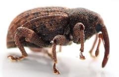 4.3 mm weevil (ophis) Tags: coleoptera polyphaga cucujiformia curculionoidea curculionidae molytinae conotrachelini conotrachelus conotrachelusposticatus weevil