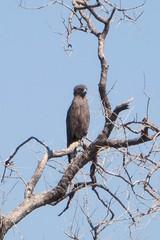 Linyanti - Brown snake eagle (llmetalworks) Tags: linyanti brownsnakeeagle day12