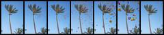 Shower of Flowers at Paradise Cove Luau Collage - Kapolei, Oahu, Hawaii (J.L. Ramsaur Photography) Tags: bluesky deepbluesky beautifulsky sky skyabove allskyandclouds palmtree palmtrees flower flowers showerofflowers showerofflowerscollage nature outdoors luau hawaiianluau traditionalluau paradisecove kapoleiohauhawaii kapoleihawaii kapoleihi kapolei islandflowers plumeria plumeriaflowers jlrphotography nikond7200 nikon d7200 photography photo oahuhi 25thanniversary honolulucounty hawaii 2019 engineerswithcameras islandsofhawaii photographyforgod hawaiianislands islandphotography screamofthephotographer ibeauty jlramsaurphotography photograph pic oahu tennesseephotographer oahuhawaii 25years anniversarytrip bucketlisttrip thegatheringplace 3rdlargesthawaiianisland 20thlargestislandintheunitedstates therainbowstate