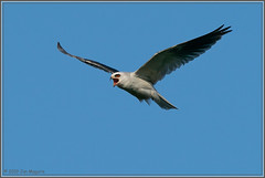 Incoming Dinner Call 4688 (maguire33@verizon.net) Tags: bif elanusleucurus pradoregionalpark whitetailedkite bird birdofprey kite raptor wildlife