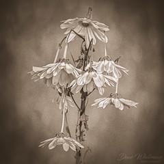 Why so Sad (Dave Whiteman - AU) Tags: stilllife plant lensbabyvelvet56 studio closeup flower things flowers lightbox floral texture