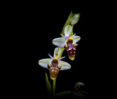 Ophrys scolopax- Woodcock Bee-orchid (loveexploring) Tags: andalucia andalusia baeticranges flordelabecada guadiarovalley jimeradelibar ophrys ophrysscolopax orchidaceae provinceofmálaga scolopax serraníaderonda spain woodcockorchid beeorchid blackbackground flower macro orchid plant sexualdeception wildflower