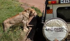 Imagine the photos THEY took! - Ngorongoro Crater, Tanzania (TravelsWithDan) Tags: lion safarivehicle outdoors ngorongorocrater tanzania africa safari photographers sonyscxrx10iii