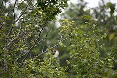 Eastern Phoebe (Neil DeMaster) Tags: animal banpesticides bird conservation conservenature easternphoebe easternphoebeonabranch green keepourairclean keeppubliclandspublic mainebird mainenature mainewildlife nature naturephotography outdoor outdoorphotography phoebe phoebeonabranch protectnature protectourenvironment protectwildlife sayornisphoebe wildlife wildlifephotography