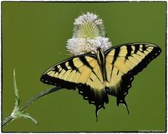 Tiger swallowtail on thistle (RKop) Tags: butterflies raphaelkopanphotography grandvalleypreserve campdennison d500 600mmf4evr 14xtciii