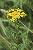 Common Tansy (Sauntering Photographer) Tags: tanacetum vulgare