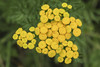 Common Tansy Flowers (Sauntering Photographer) Tags: tanacetum vulgare
