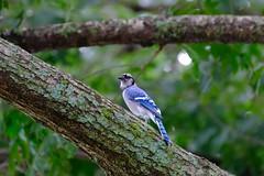 Bluejay 8.3.19 (Gene Ellison) Tags: animal bird bluejay eyes beak feathers tree limb lichen green woods nature photography naturephotography fujifilm velvia sooc