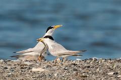 Least Terns (mattbpics) Tags: bird audubon tamron milfordpoint canon coastalcenter 70d shore leasttern shorebird nature wildlife 150600 150600mm