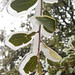 Ice incased oak tree leaves