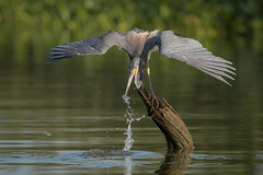 Not Safe (gseloff) Tags: tricoloredheron bird feeding fish baitfish menhaden nature wildlife water stump splash wingspread horsepenbayou pasadena texas kayak gseloff