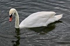 Swan, London, UK (Robby Virus) Tags: london england uk unitedkingdom britain greatbritain gb kensington gardens park swan bird water serpentine lake pond manmade