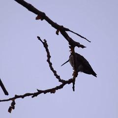 Hummingbird at rest (MoparMadman63) Tags: perched bird hummingbird resting nature sky silhouette outdoors wildlife branch treetop