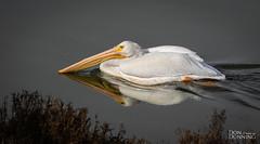 American White Pelican (Pelecanus erythrorhynchos) (Don Dunning) Tags: americanwhitepelican birds california canon7dmarkii canonef100400mmisiiusm paloalto paloaltobaylandsnaturepreserve pelecanuserythrorhynchos pelican water