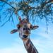 Start the Giraffe -Saddle Rock Ranch & Malibu Wine Safari - Malibu, California