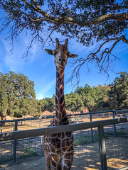 Stanley the Giraffe - Saddle Rock Ranch & Malibu Wine Safari - Malibu, California (ChrisGoldNY) Tags: chrisgoldphoto chrisgoldny chrisgoldberg bookcovers albumcovers licensing malibu malibuwinesafaris saddlerockranch california losangeles la socal cali westcoast america usa