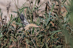 Little Bittern (katyarud) Tags: bird israel ixobrychusminutus littlebittern maayantzvi мааянцви малаявыпь птица птицы אנפיתגמדית ישראל מעייןצבי ציפור