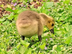 Little Goose Caboose (PhotoJeanettic) Tags: goslings