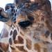 Stanley the Giraffe at Saddle Rock Ranch & Malibu Wine Safari - Malibu, California