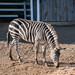 Zebra at Saddle Rock Ranch & Malibu Wine Safari - Malibu, California