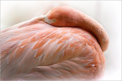 Eyes Wide Open (Christina's World : On & Off) Tags: flamingo pink white bird largebird macro feathers nature image9142 textures topaz touristattraction sandiego fragiletouch california zoo portrait