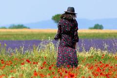 P1140419 (alainazer2) Tags: valensole provence france fiori fleurs flowers fields champs ciel cielo sky colori colors couleurs coquelicot poppy papavero lavande lavanda lavender