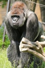 western lowlandgorilla Bokito Blijdorp 094A1512 (j.a.kok) Tags: animal africa afrika aap ape mammal monkey mensaap primate primaat zoogdier dier gorilla westelijkelaaglandgorilla westernlowlandgorilla lowlandgorilla laaglandgorilla blijdorp bokito