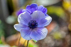 Anemone already (cheezepleaze) Tags: flower winter macro nature purple anemone inmygarden bokeh