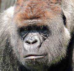 western lowlandgorilla Bokito Blijdorp 094A1516 (j.a.kok) Tags: animal africa afrika aap ape mammal monkey mensaap primate primaat zoogdier dier gorilla westelijkelaaglandgorilla westernlowlandgorilla lowlandgorilla laaglandgorilla blijdorp bokito