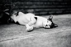 懶洋洋 (ciel*paradis) Tags: fujifilm xt10 xf35mmf14r taiwan taichung cat ねこ bw blackandwhite