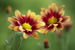chrysanthemum 5142 (junjiaoyama) Tags: japan flower plant chrysanthemum mum yellow red summer macro bokeh brilliant gorgeous composition