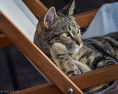 """""""We're loungin'...hope you like loungin', too."""" (Picture-Perfect Pixels) Tags: catmoments cat male tabby domesticshorthair cute loungin relaxing pet young youthful outdoors backdeck chair gazing resting marley inspiredbybobmarley flickrexploureaugust42019"""