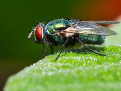 Fly (olyjan) Tags: macro olympus insekt insect animal tier animals tiere m43 mft em10markii makro 60mmf28
