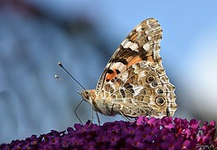 Painted Lady (Vanessa cardui) (Eleanor (New account))) Tags: butterfly paintedladybutterfly buddlea garden stanmore uk nikond7200 august2019