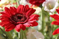 Gerbera (abrideu) Tags: abrideu canoneos100d gerbera macro red flower depthoffield bright bokeh bouquet ngc