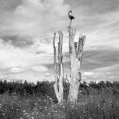 Perch of the iron bird (Richie Rue) Tags: tree trunk bird iron ironwork ornament blackandwhite bnw bw monochrome film analogue retro retropan320s foma mediumformat squareformat 6x6 120 travel treetrunk fineart yorkshire wolds way outdoors