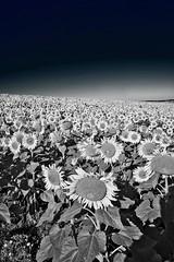 Sunflower in black (@phr_photo) Tags: sunflower sun summer morning monochrome bnw blackandwhite landscape paysage tournesols
