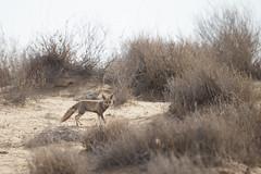 Desert Fox - Vulpes vulpes pusilla (Jono Dashper Wildlife) Tags: desert fox vulpes pusilla desertfox vulpesvulpespusilla redfox whitefootedfox mammal animal wild wildlife nature canon 2019 500m 1dx desertnationalpark rajasthan india rajastan jonodashper jonathondashper