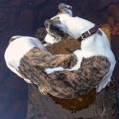 Bendy Bosun (prajpix) Tags: dog pet hound bosun canine bend twist agile bendy water river cooling heat cool